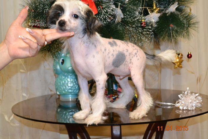 Диета Китайской Хохлатой Собаки. Чем кормить китайскую хохлатую собаку